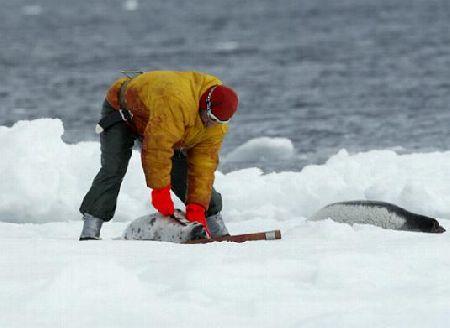 Sealer at work- skinning beater harpseals (over 40% are skinned alive).jpg